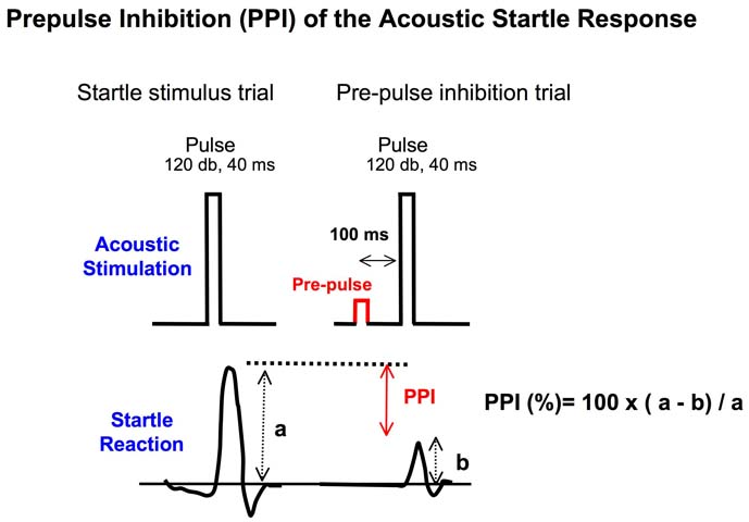 Prepulse Inhibition Ppi Of The Acoustic Startle
